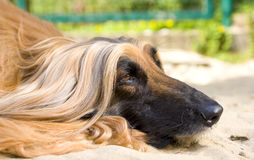 Close up of Afghan Hound. Head close up of an Afghan Hound laying in the sand, about to doze off stock photography