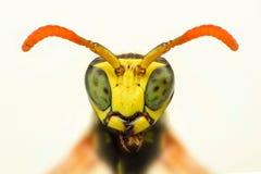 Close up afiado extremo da cabeça da vespa fotografia de stock royalty free