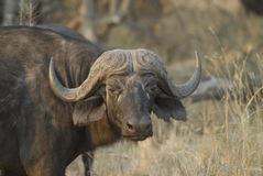 Close up of African Buffalo Stock Photo