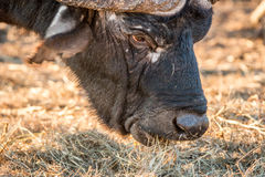 Close up of an African buffalo eating. Stock Photo