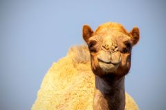 Close up of an african  camel on the blue  background. Namibia stock photos