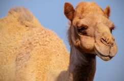 Close up of an african  camel on the blue  background. Namibia royalty free stock image