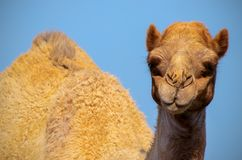 Close up of an african  camel on the blue  background. Namibia royalty free stock images