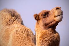 Close up of an african  camel on the blue  background stock photo