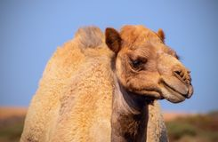 Close up of an african  camel on the blue  background. Namibia stock images