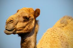 Close up of an african  camel on the blue  background. Namibia royalty free stock photos