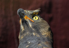 Close Up of African Crowned Eagle Looking Up Stock Images