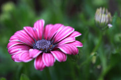 Close up of African Daisy flower (Osteospermum eck Royalty Free Stock Photography
