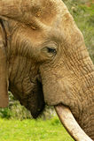 Close-up of an African Elephant Stock Photos