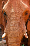 Close up of an african elephant Stock Image