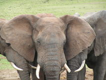 Close up of an african elephant Royalty Free Stock Photography