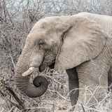 Close up of african elephant Royalty Free Stock Photo
