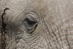 Close-up of an African Elephant face and eye Royalty Free Stock Photography