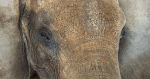 Close up of an African elephant Royalty Free Stock Images