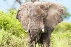 Close-up of african elephant grazing. Uganda stock images