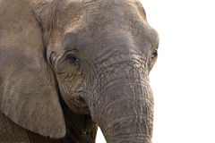 Close up african elephant head  Royalty Free Stock Images