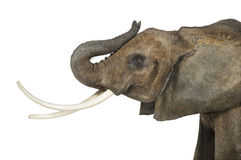 Close up of an African Elephant lifting its trunk, isolated Royalty Free Stock Image