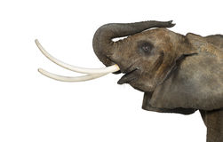 Close up of an African Elephant lifting its trunk, isolated Royalty Free Stock Images
