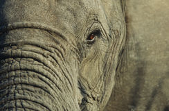 Close-up of African Elephant (Loxodonta africana) selective focus Royalty Free Stock Photos