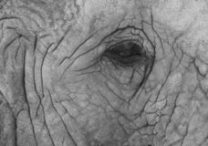 Close up of African elephant, photographed in high contrast monochrome at Knysna Elephant Park in the Garden Route, South Africa. Close up of African elephant stock images