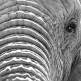 Close up of African elephant, photographed in high contrast monochrome at Knysna Elephant Park in the Garden Route, South Africa. Close up of African elephant stock photos