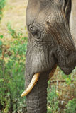 Close up an African elephant portrait Stock Photo
