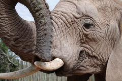 Close up of an African Elephant. A close up portrait or an African Elephant with trunk, tusks, and eye showing stock photo