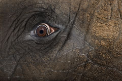 Close up of an African elephant's eye Royalty Free Stock Photos