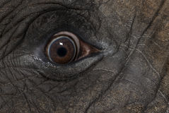 Close up of an African elephant's eye Stock Images