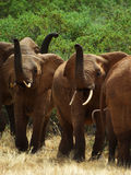 Close up of African Elephants. Tsavo east, Kenya, Africa Royalty Free Stock Photo