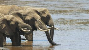 Close up of african elephants drinking from the mara river in masai mara game reserve