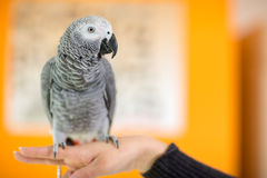 Close up of African gray parrot Royalty Free Stock Photography