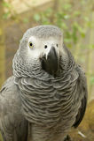 Close-up of an African Grey Parrot Stock Images
