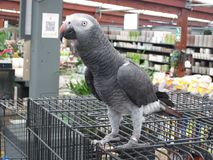 African Grey Parrot - Africa`s Parrot Stock Image