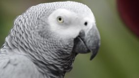 Close up of an African Grey Parrot stock video