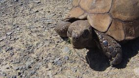 Turtle South African. Close up of African ground turtle in Mountain Zebra National Park in South Africa, on green grass savanna stock video footage