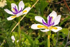 Close up of African Iris flower. African Iris flower growing wild on a meadow in California Stock Photo