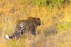 Close up of an African Leopard royalty free stock image
