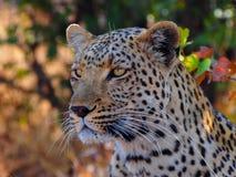 Close up of African leopard Panthera pardus pardus. Lone african leaopard, young male Panthera pardus pardus Picture was taken in natural habitat - Savuti Game royalty free stock photos