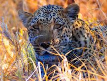 Close up of African leopard Panthera pardus pardus. Lying in shade and between yellow grass. Picture taken in natural habitat - Savuti Game Reserve - Botswana stock photography