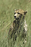 Close up of African Leopard Sitting in Grass Stock Images