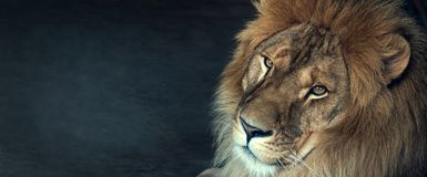 Close-up of an African lion.  royalty free stock photo