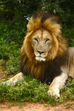 Close-up of an African lion Royalty Free Stock Photography