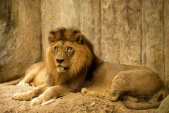 Close-up of an African lion. Between relax Stock Image