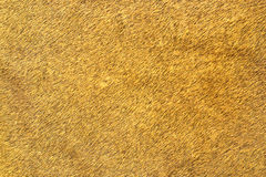Close up of african lion leather. Texture of animal skin  Panthera leo Stock Images