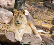 Close up African lion staring in nature Royalty Free Stock Photo
