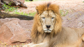 Close up African lion staring in nature Stock Photo