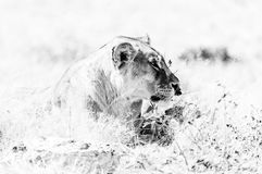 Close-up of African Lioness lying in grass. Monochrome. Close-up of an African Lioness, Panthera leo, lying in grass in Northern Namibia stock images