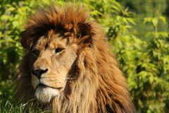Lion looking to the left. Close up of an African male lion taken in the late afternoon stock photo