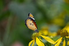 Close-up of an African Monarch Butterfly. Standing on yellow flower stock photography